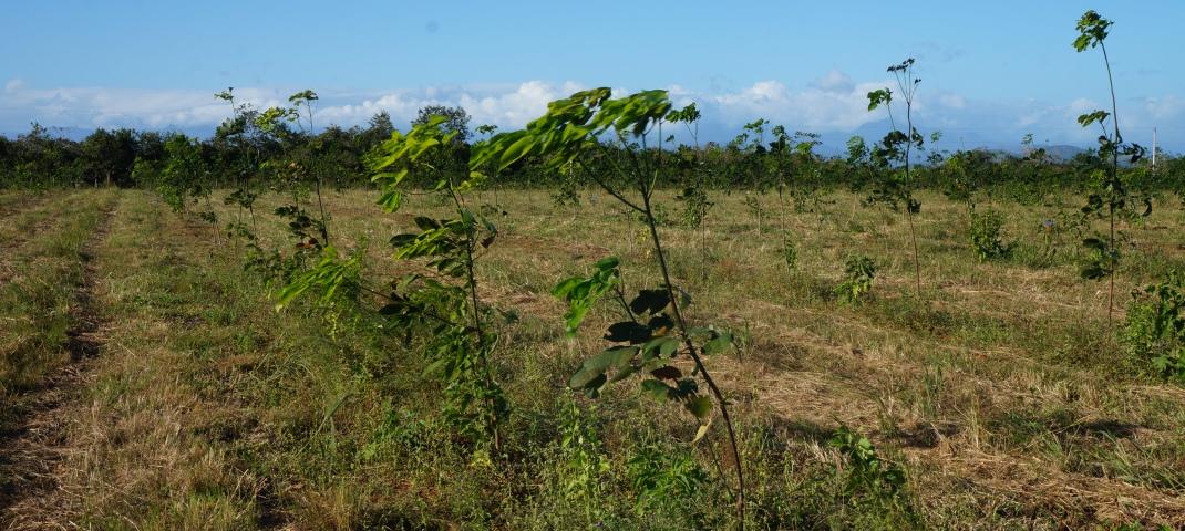 kautschukbaeume vor der ernte (c) timberfarm