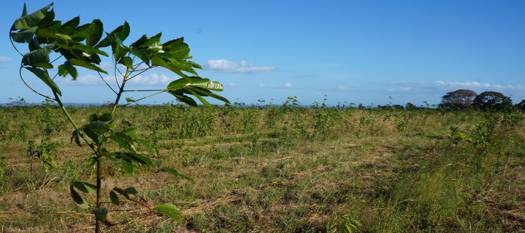 blaetter von kautschukbaum (c) timberfarm