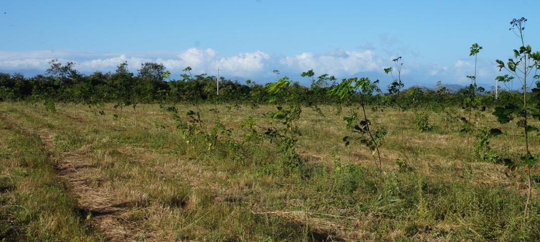 panamaischer kautschukbaum (c) timberfarm