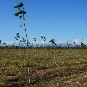 kautschukplantage in panama (c) timberfarm