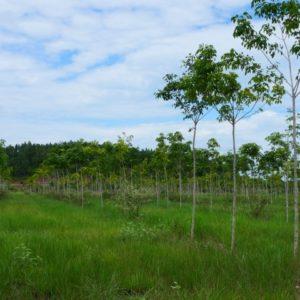 kautschukbaum aus samen (c) timberfarm