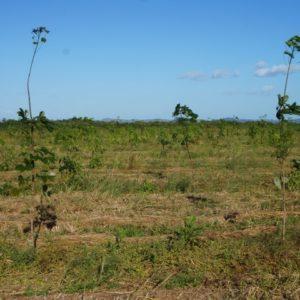 kautschukbaum gummibaum (c) timberfarm