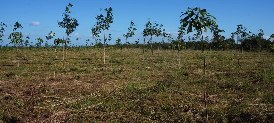 anbau von kautschukbaeumen (c) timberfarm